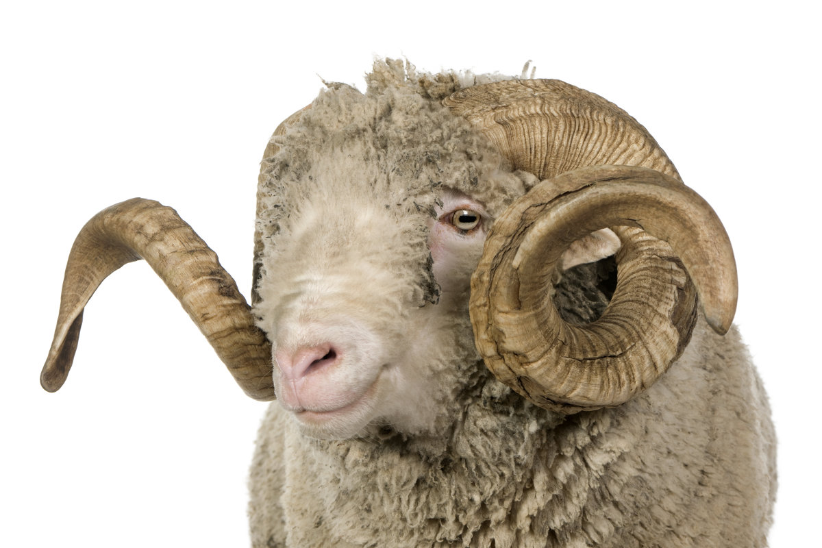 Arles Merino sheep (ram) (5 years old)
